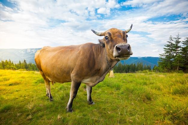 Koeien grazen op heuvels