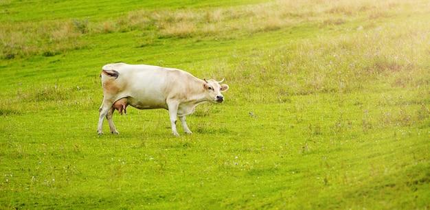 Koeien herdis grazen in de bergen