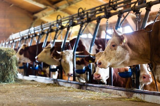 Koeien in cowhouse die hooi eten