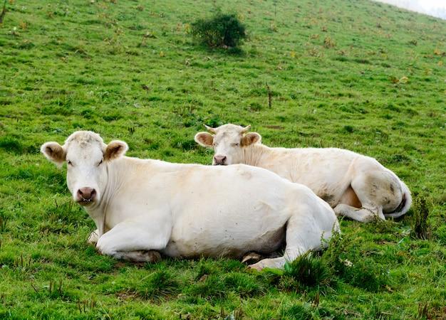 Koeien in de bergweiden