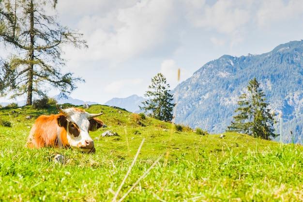 Koeien in de groene weiden van de alpen