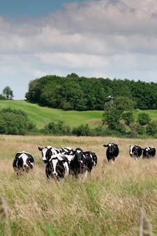 Koeien in een veld