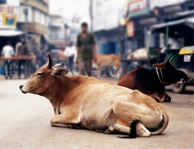 Koeien in india
