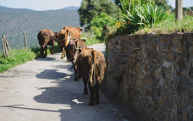 Koeien lopen op de weg.