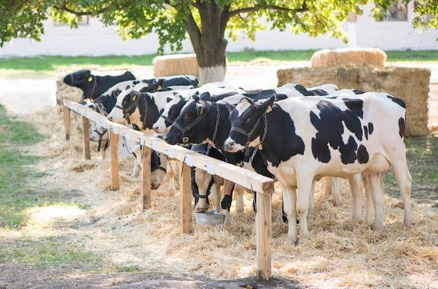 Koeien op een boerderij