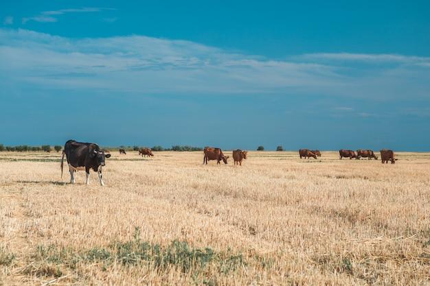 Koeien op een geel veld en een blauwe lucht.