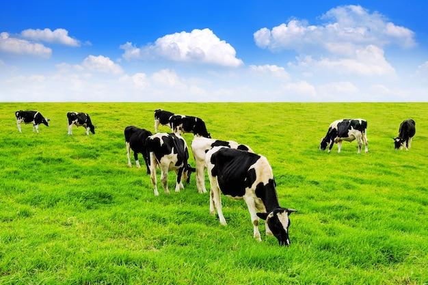 Koeien op een groen veld en een blauwe hemel