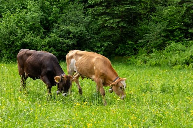 Koeien op een groen veld