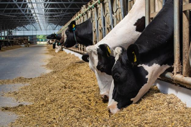 Koeien op een moderne boerderij eten kuilvoer van de voertafel