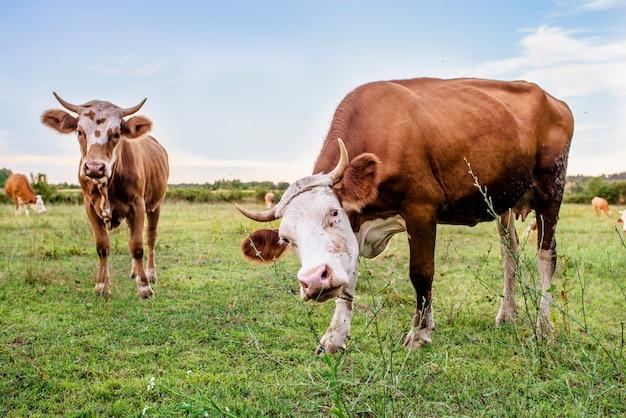 Koeien op een zomerweide