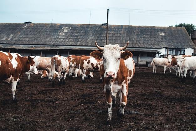 Koeien op het formulier. melk, vleesproductie. huishoudelijke dieren.