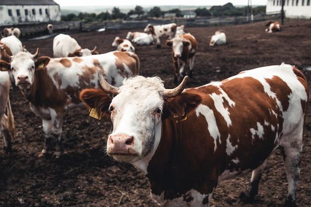 Koeien op het formulier. melkproductie. huishoudelijke dieren.