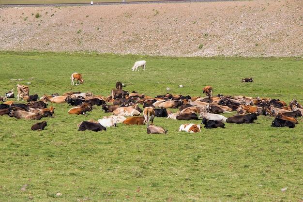 Koeien op het veld in georgië, grote groep koeien