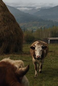 Koeien op mistige karpaten in oekraïne