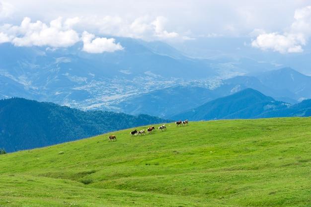 Koeien rennen in de bergen van artvin, turkije