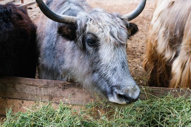 Koeien, runderen eten hooi in de paddock op de boerderij. podolsk-stieren