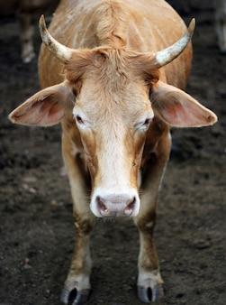 Koeien staren