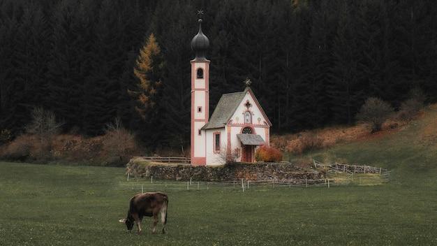 Koeien voor de kerk van st. john van nepomuk in ranui