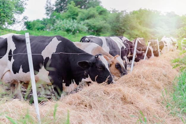 Koemelk die gras met heldere sunlignt eet