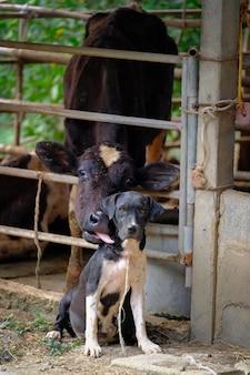 Koemelk in seta en hond zien aan camera