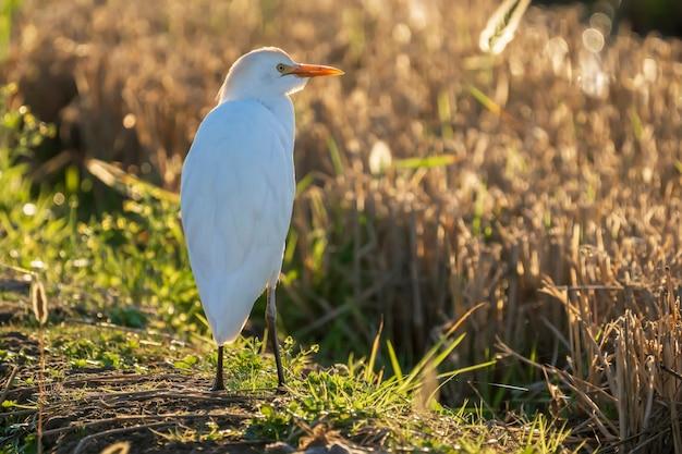 Koereiger (bubulcus ibis) bij zonsopgang in een rijstveld in albufera van het natuurpark van valencia, valencia, spanje.