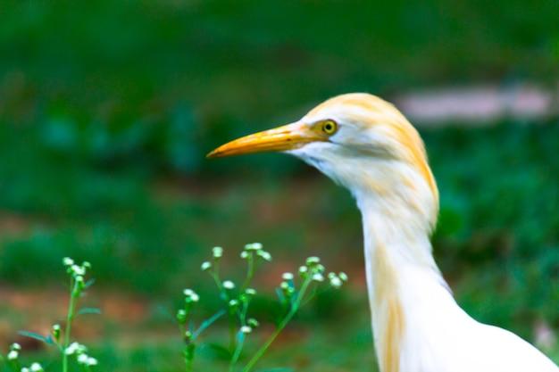 Koereiger of bekend als de bubulcus ibis stevig in de buurt van de planten voor insecten en ongedierte