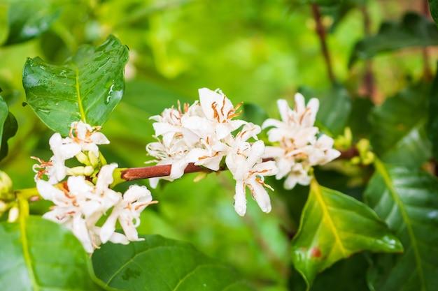 Koffie bloemen