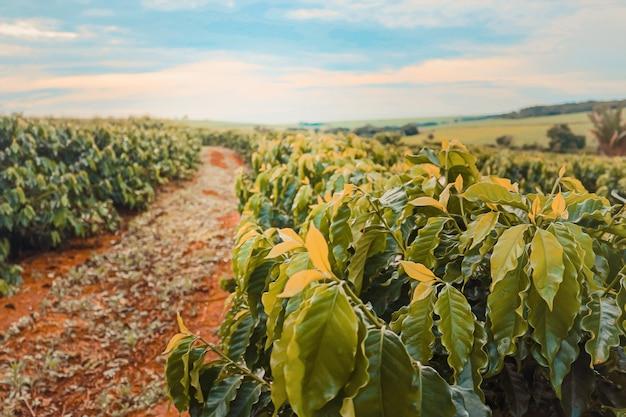 Koffie boerderij veld