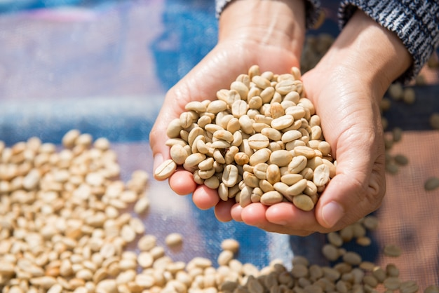 Koffie gedroogde bonen bij de hand