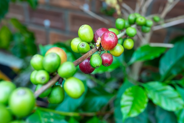 Koffie jong groen blad op verse boom.