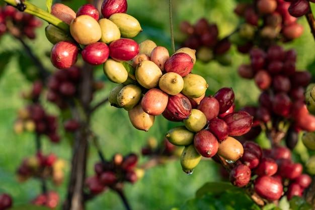 Koffie kers in koffieboom