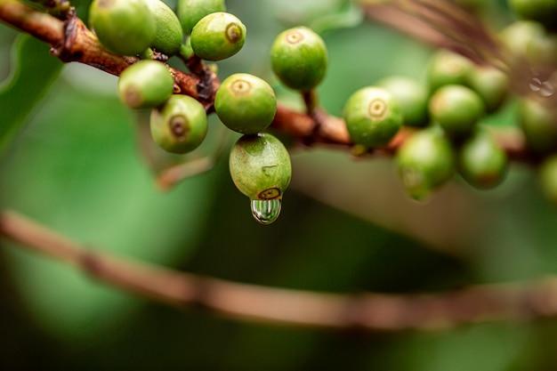Koffie kersen. koffiebonen op koffieboom, tak van een koffieboom met rijpe vruchten met dauw. concept afbeelding.