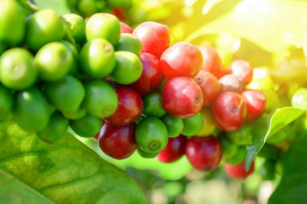 Koffie op boom arabicas ruwe en rijpe koffieboon groene en rode koffietak in organische fa