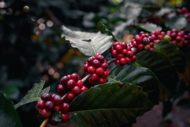 Koffiebes rijping op boom, arabica koffie rijp rood onder het silhouet van de boom in het bos