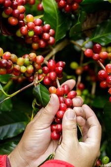 Koffiebessen oogsten door landbouw. koffiebonen rijpen aan de boom in het noorden van thailand
