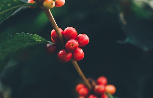 Koffiebessen oogsten door landbouw. koffiebonen rijpen aan de boom