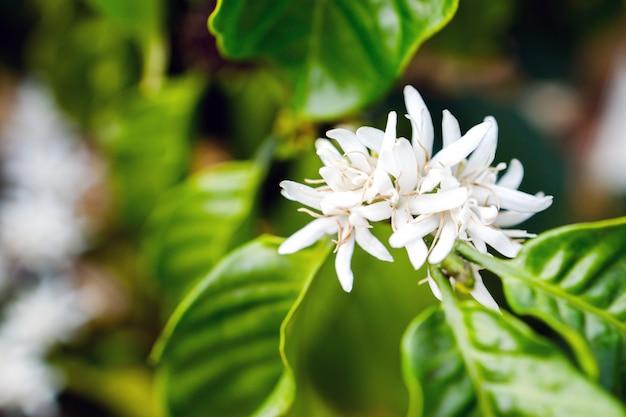 Koffiebloem die op boom bloeien