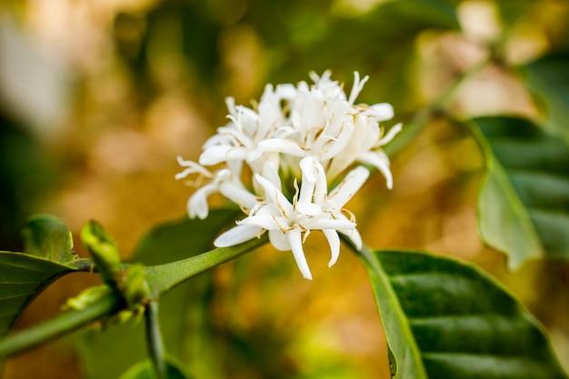 Koffiebloem die op boom bloeit