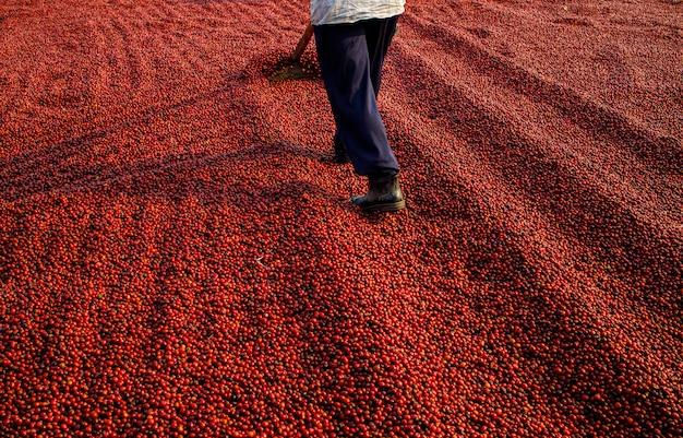 Koffiebonen die in de zon drogen. koffieplantages op koffieboerderij