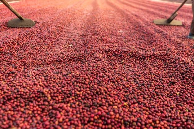 Koffiebonen die in de zon drogen