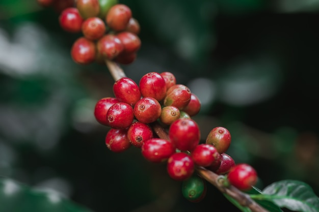 Koffiebonen die op boom in het noorden van thailand rijpen