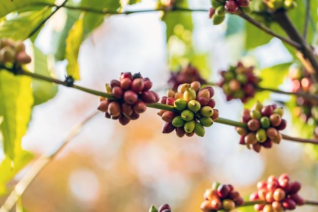 Koffiebonen die op boom rijpen