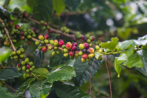 Koffiebonen die, verse koffie op boom in het noorden van thailand rijpen