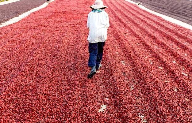 Koffiebonen drogen in de zon. koffieplantages bij koffieboerderij
