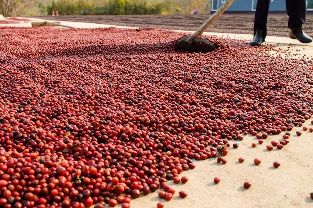 Koffiebonen drogen in de zonplantages op de boerderij