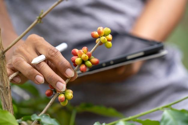 Koffiebonen in landbouwbedrijf