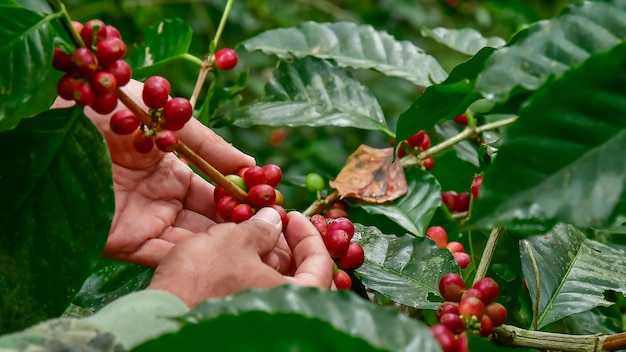 Koffiebonen op boom