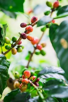 Koffiebonen op de tak. robusta coffee.