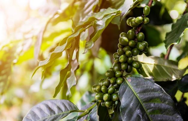 Koffiebonen op een boom met soft-focus en over licht op de achtergrond