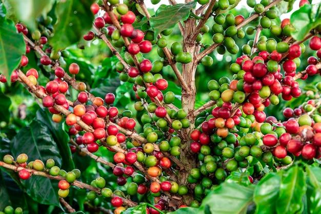 Koffiebonen op een tak van de boom.
